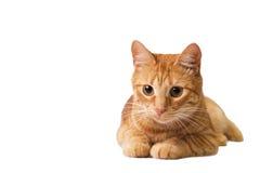 红色猫在白色被隔绝 库存图片