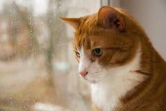 红色猫在窗口里的看雨 免版税库存照片