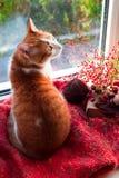 红色猫坐看在庭院的窗台 秋天猫 免版税库存照片