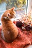 红色猫坐看在庭院的窗台 秋天猫 免版税库存图片