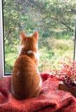 红色猫坐看在庭院的窗台 秋天猫 库存照片