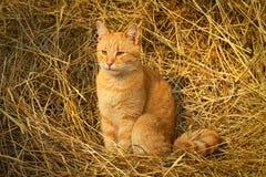 红色猫坐黄色干草 免版税图库摄影