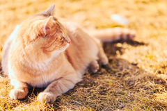 红色猫坐绿色春天草 免版税库存图片