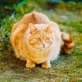 红色猫坐绿色春天草 免版税图库摄影