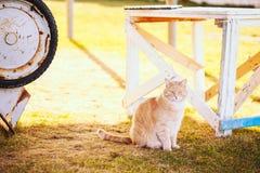 红色猫坐绿色春天草 免版税库存照片