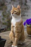 红色猫戒备 库存照片