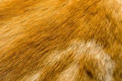 红色猫毛皮纹理 图库摄影