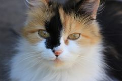 红色猫 议院宠物 一个杂种动物 免版税库存图片