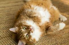 红色猫 免版税图库摄影