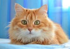 红色猫画象  免版税库存图片
