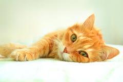 红色猫画象  免版税图库摄影