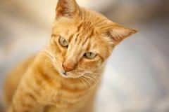 红色猫画象  库存图片