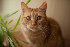红色猫 免版税库存图片