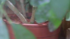 红色玉米蛇玻璃容器 股票视频