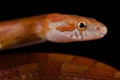 红色玉米蛇Pantherophis guttatus 库存照片