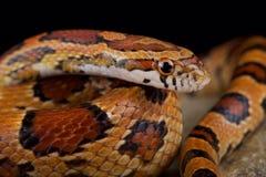 红色玉米蛇Pantherophis guttatus 免版税库存照片