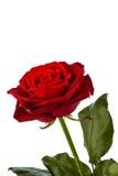 红色玫瑰。 爱的符号 免版税库存图片