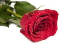 红色玫瑰一朵花  免版税库存图片