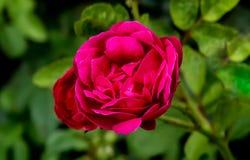红色玫瑰与被弄脏的绿色叶子的特写镜头射击 免版税库存照片
