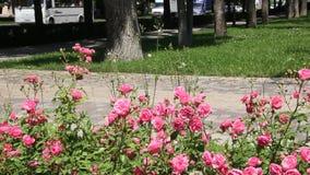 红色玫瑰丛