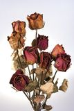 红色玫瑰凋枯了 库存图片