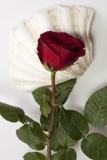 红色玫瑰和壳 免版税库存图片