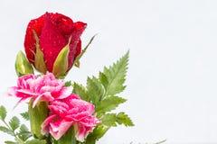 红色玫瑰和桃红色康乃馨在白色背景开花 免版税库存图片