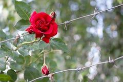 红色玫瑰和铁丝网篱芭  库存照片