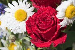 红色玫瑰和雏菊与露滴 免版税库存照片