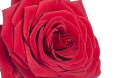 红色玫瑰唯一花在白色背景,关闭的 免版税库存图片
