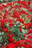 红色玫瑰园 免版税库存图片