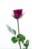 红色玫瑰在休息日爱隔绝了白色,拷贝空间 免版税库存照片