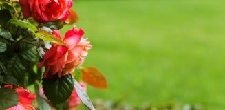 红色玫瑰在夏天庭院里 复制空间 免版税图库摄影