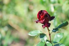 红色玫瑰在庭院里 被弄脏的背景 免版税库存照片