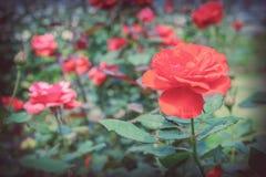红色玫瑰在庭院里 库存图片