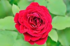 红色玫瑰在庭院里 免版税库存照片