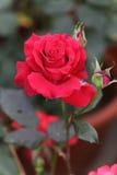 红色玫瑰在庭院里 库存照片
