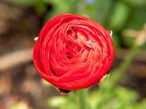 红色玫瑰在庭院里 免版税库存图片