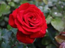 红色玫瑰在玫瑰园里 免版税库存照片