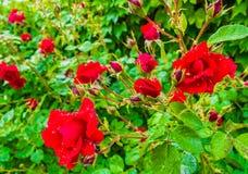 红色玫瑰宏观射击在雨以后的 免版税库存图片