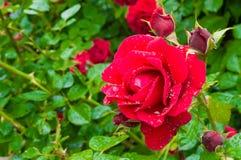 红色玫瑰宏观射击在雨以后的 图库摄影