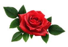 红色玫瑰开花壁角安排 免版税库存图片