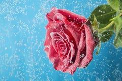红色玫瑰惊人的宏观射击在水中与在蓝色背景的泡影 免版税库存照片