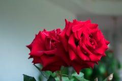 红色玫瑰是任何地方看,在植物布置或从rosebush的一朵美丽的花 免版税库存照片