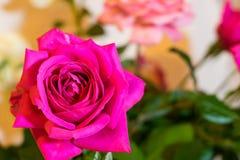 洋红色玫瑰有迷离背景 图库摄影