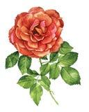 红色玫瑰植物的水彩 免版税库存照片