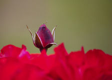 红色玫瑰牡丹 图库摄影
