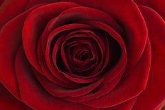 红色玫瑰特写镜头 免版税库存图片