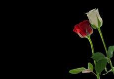 红色玫瑰白色 免版税图库摄影