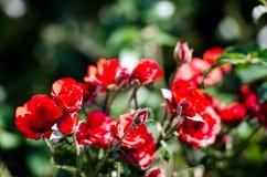 红色玫瑰的布什 库存照片